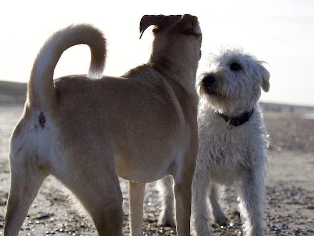 2 hondjes
