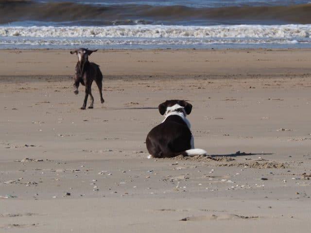 Hond gaat liggen als hij andere honden ziet