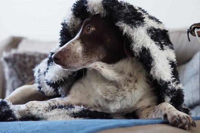 Hond verstopt zich